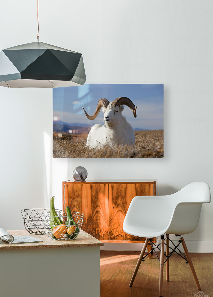 A Dall Sheep Ram Lies On A High Mountain Meadow In Denali National Park And Preserve, Interior Alaska, Autumn  HD Metal print with Floating Frame on Back