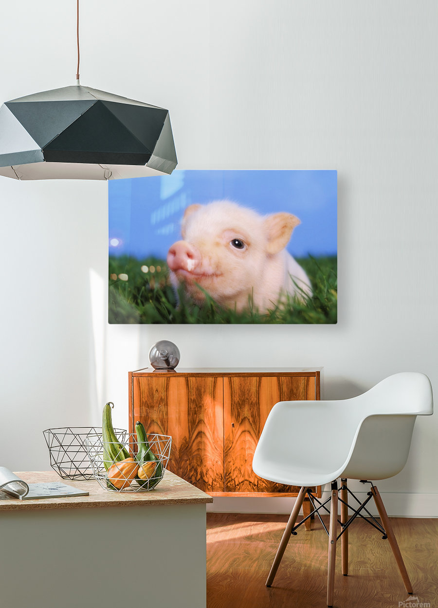 Baby pig lying on grass;British columbia canada  HD Metal print with Floating Frame on Back