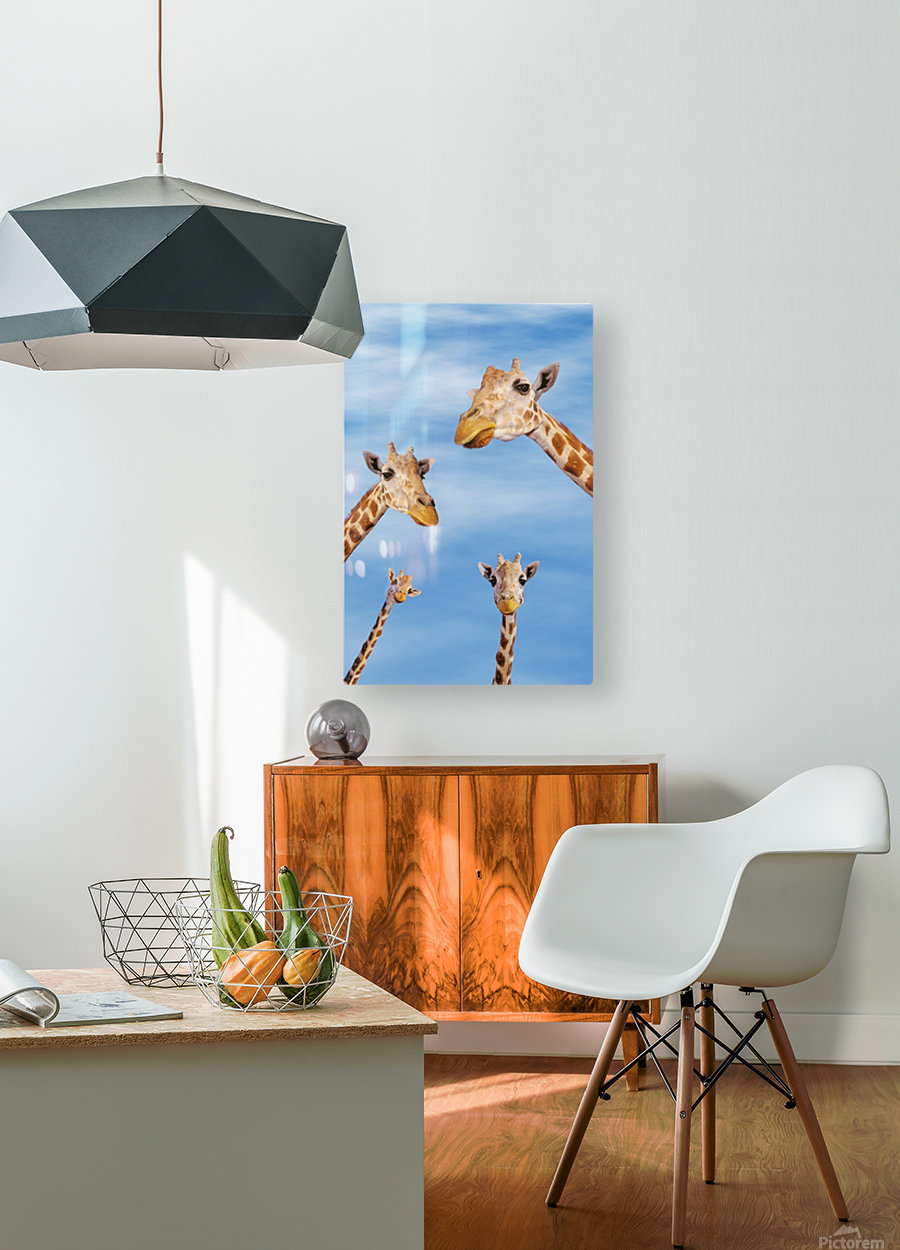 Four giraffes looking downward;Africa  HD Metal print with Floating Frame on Back