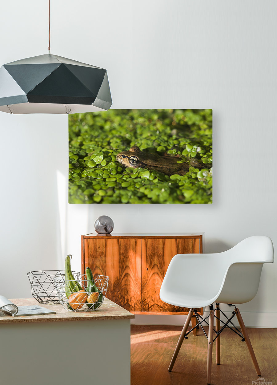 A Red-Legged Frog Rests In Small Plants; Astoria, Oregon, United States Of America  HD Metal print with Floating Frame on Back