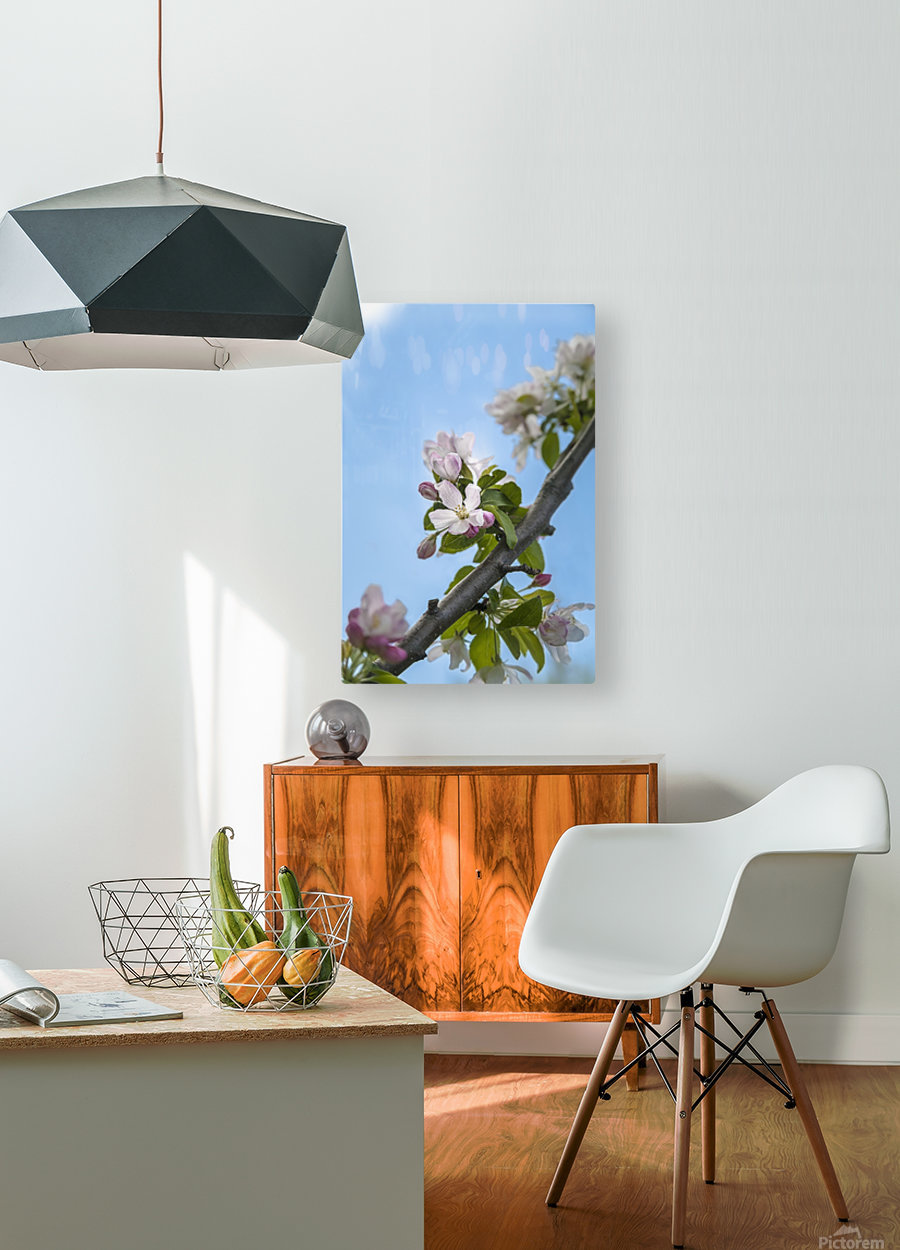 Pink and white crabapple flowers against a blue sky; Toronto, Ontario, Canada  HD Metal print with Floating Frame on Back
