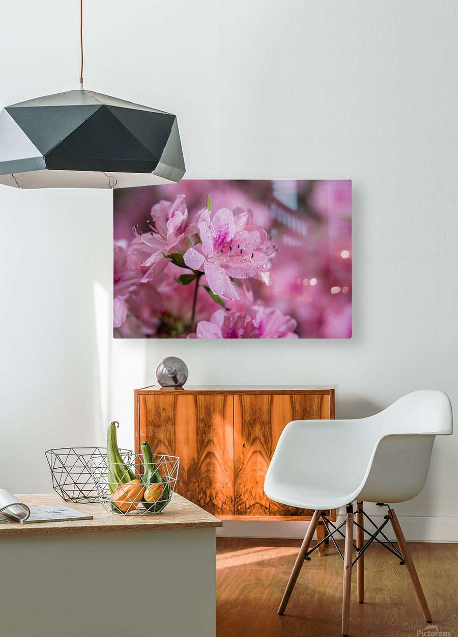 Pericat hybrid azaleas (Mrs. Fisher), Rhododendron (Ericaceae), New York Botanical Garden; New York City, New York, United States of America  HD Metal print with Floating Frame on Back