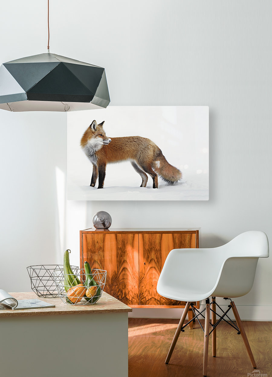 Fox in the snow; Montreal, Quebec, Canada  HD Metal print with Floating Frame on Back
