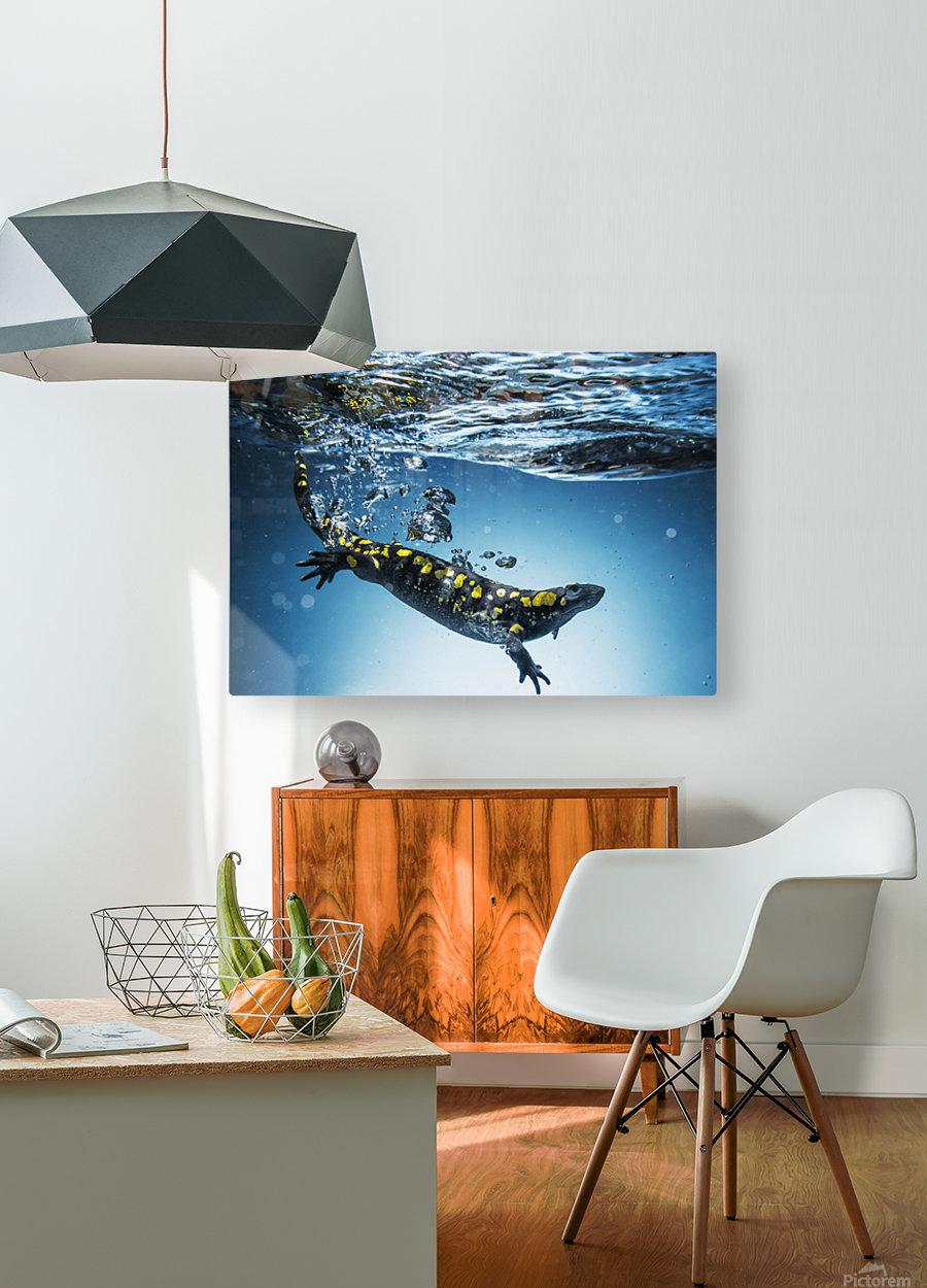 Salamander (Caudata) swimming in water; Tarifa, Cadiz, Andalusia, Spain  HD Metal print with Floating Frame on Back