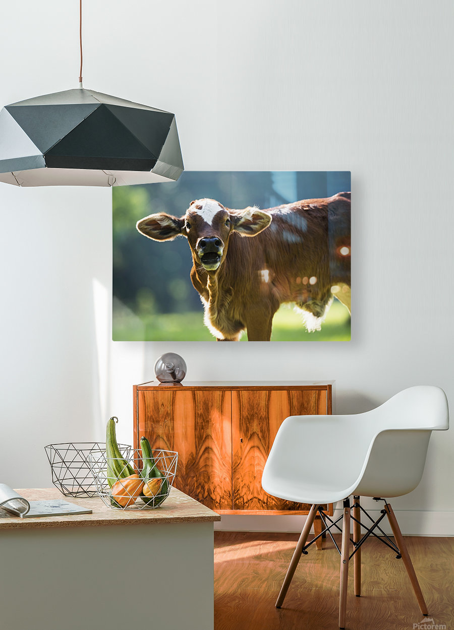 Herford calf bawls for it's mother; Gaitor, Florida, United States of America  HD Metal print with Floating Frame on Back