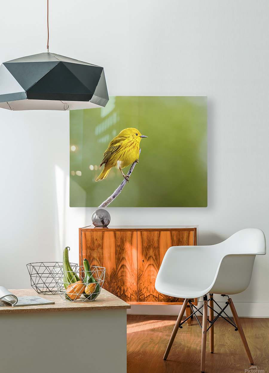 Yellow warbler (Setophaga petechia) perched during spring time; Chateauguay, Quebec, Canada  HD Metal print with Floating Frame on Back