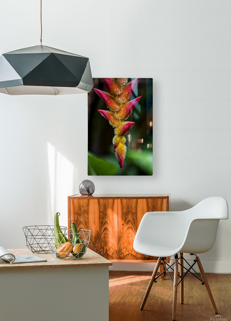 A unique tropical plant with fuzzy red and orange blossoms; Hawaii, United States of America  HD Metal print with Floating Frame on Back