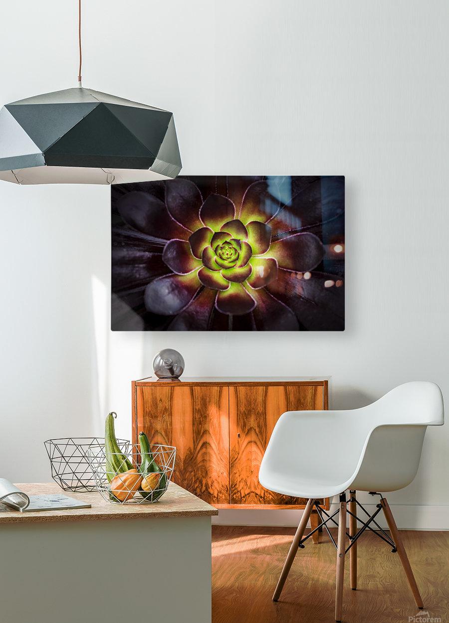 Purple and green Aeonium, Dublin Botanic Garden; Dublin, Leister, Ireland  HD Metal print with Floating Frame on Back