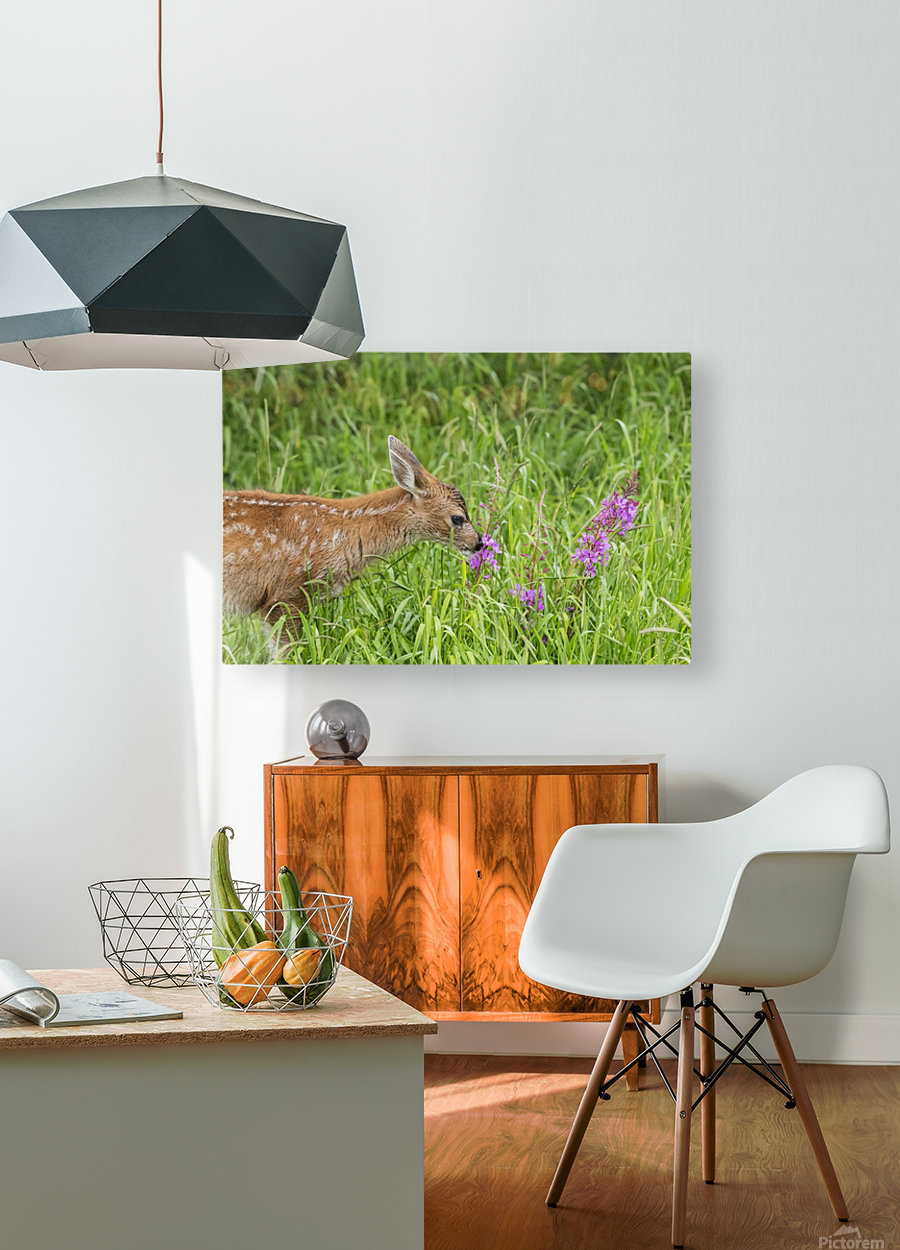 Sitka Black-tailed deer fawn (Odocoileus hemionus sitkensis) munches on fireweed (Chamerion angustifolium) in pasture, captive animal at the Alaska Wildlife Conservation Centre; Portage, Alaska, United States of America  HD Metal print with Floating Frame on Back