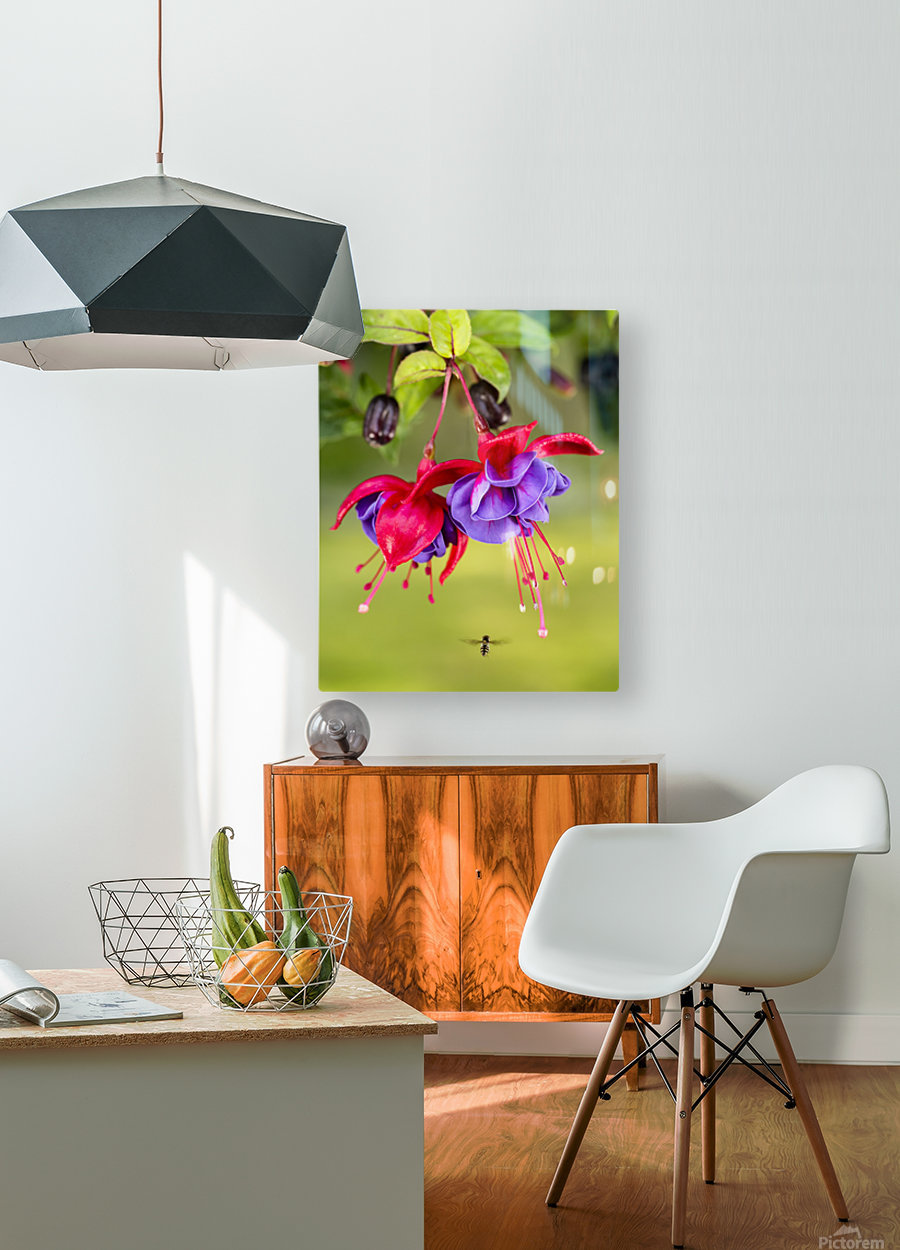 Close up of fuchsia and insect in garden; South-central Alaska; Eagle River, Alaska, United States of America  HD Metal print with Floating Frame on Back