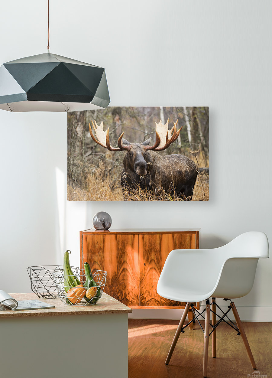 Bull moose (alces alces) in rutting season; Anchorage, Alaska, United States of America  HD Metal print with Floating Frame on Back