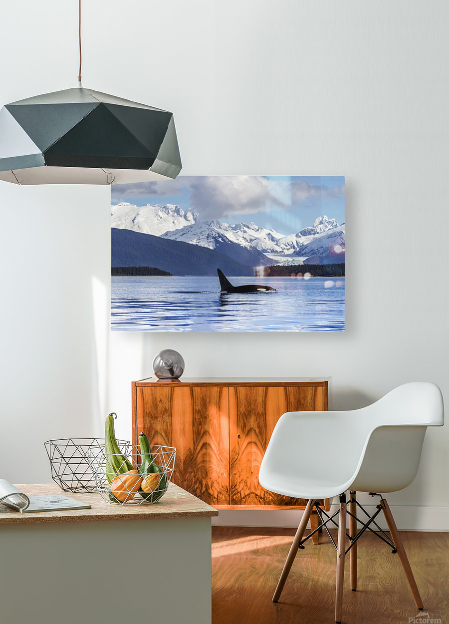 An Orca Whale (Killer Whale) (Orcinus orca) surfaces in Lynn Canal, Herbert Glacier, Inside Passage; Alaska, United States of America  HD Metal print with Floating Frame on Back