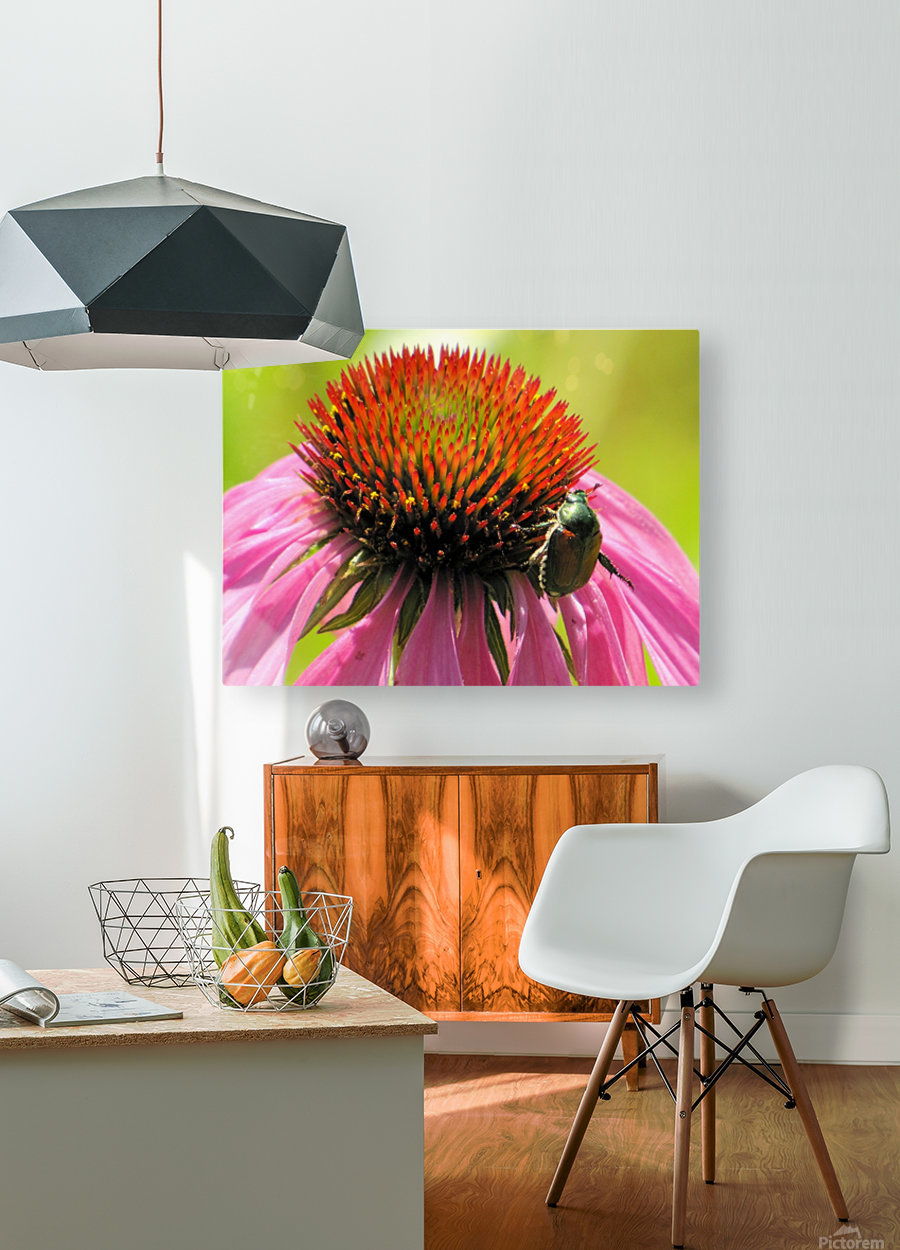 Echinacea and the Bee in Lincoln Park VP6  HD Metal print with Floating Frame on Back