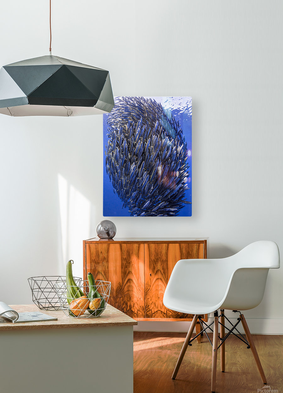 Bait ball  HD Metal print with Floating Frame on Back