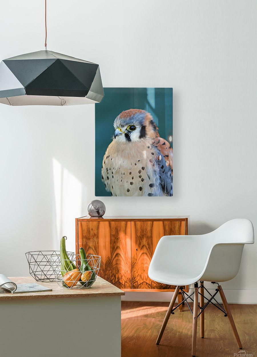 American Kestrel  HD Metal print with Floating Frame on Back