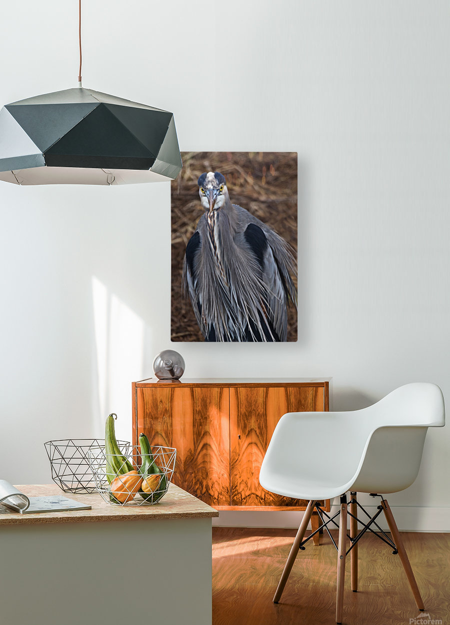 Face on view of great blue heron  HD Metal print with Floating Frame on Back