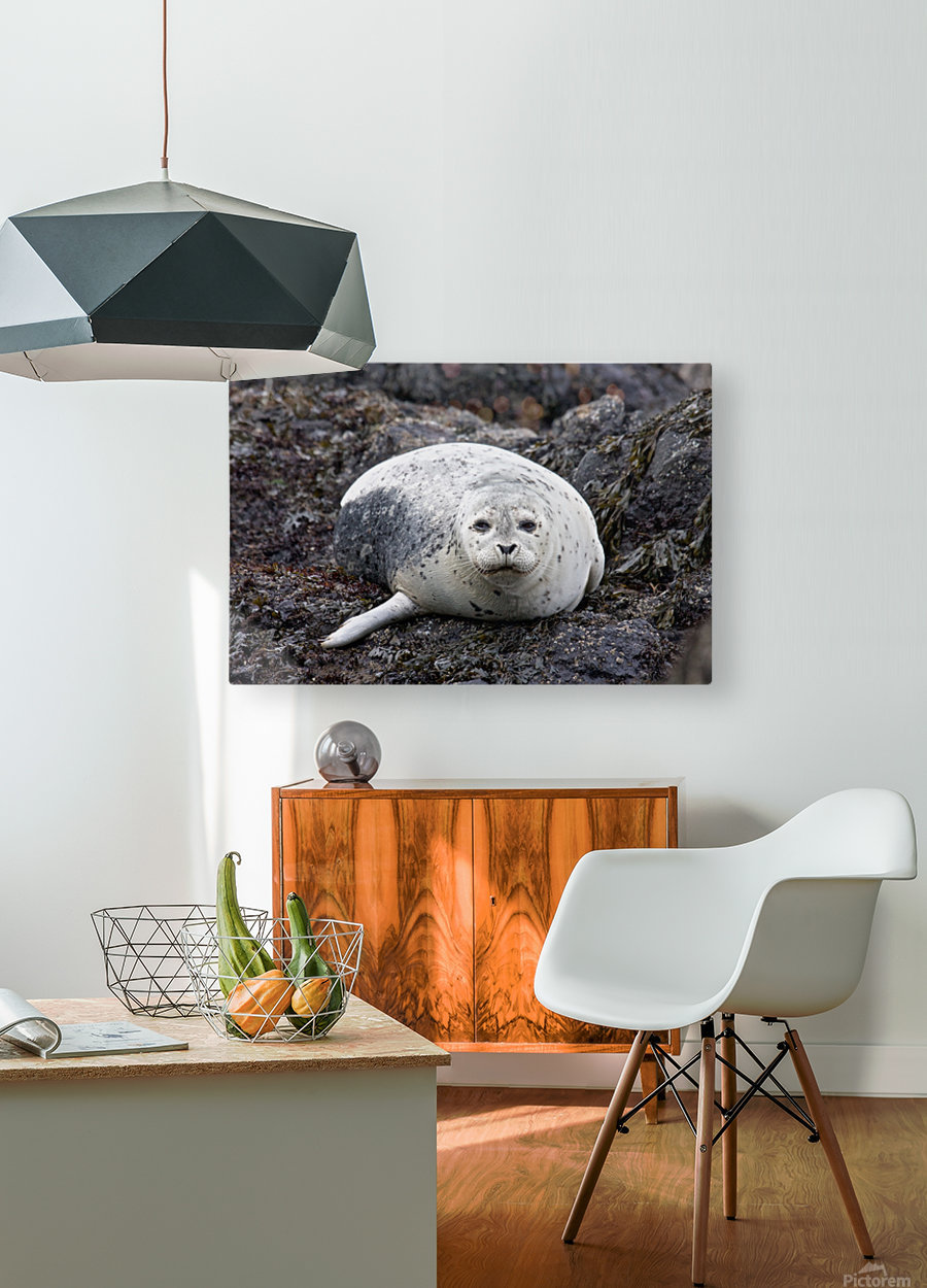 sea lion near Newport, OR  HD Metal print with Floating Frame on Back