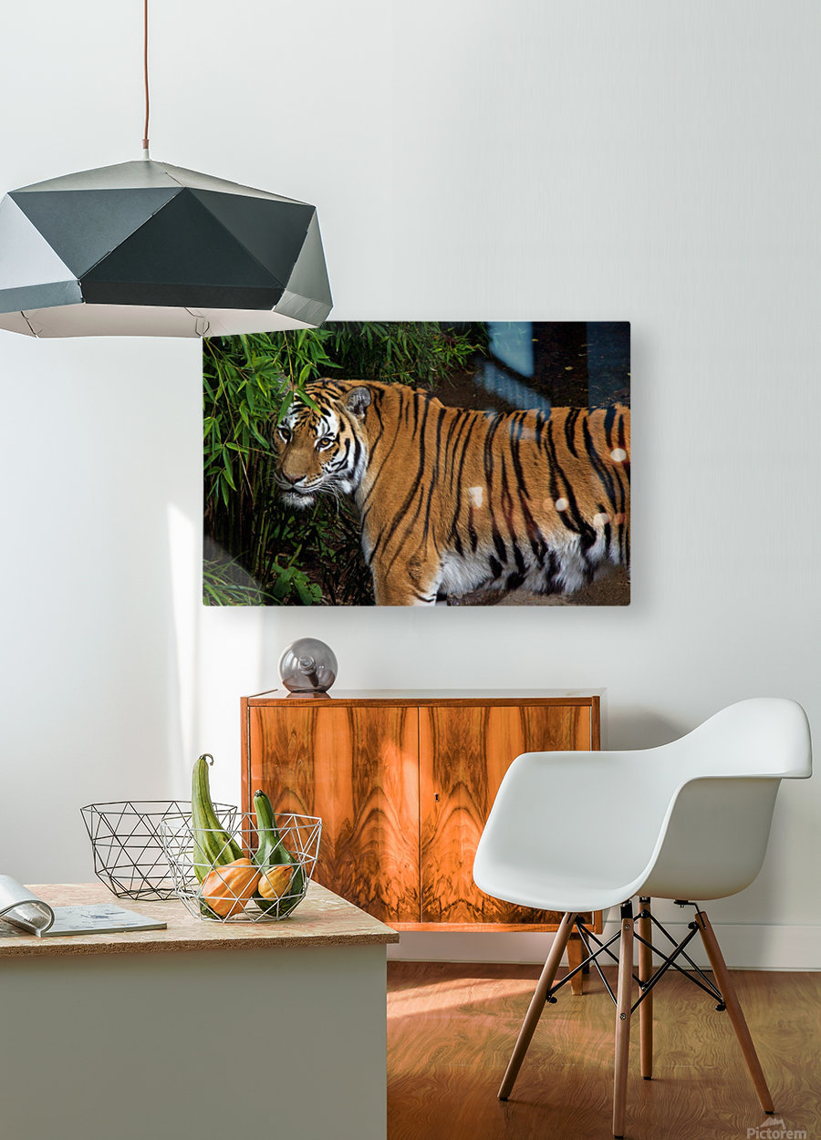 Female Tiger  HD Metal print with Floating Frame on Back