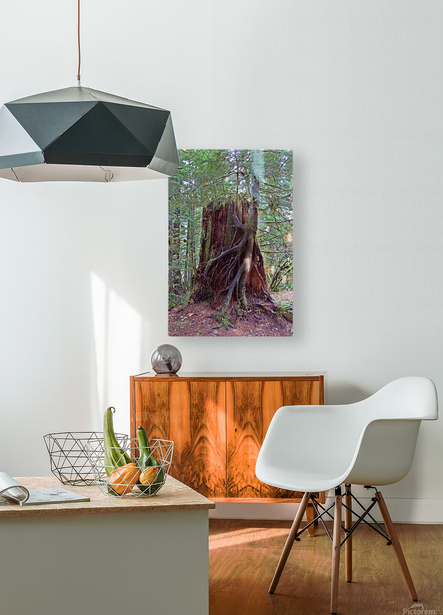 Seedling growing off of Cedar Stump  HD Metal print with Floating Frame on Back