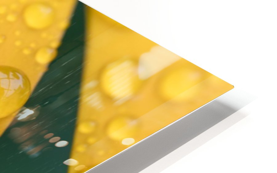 Close up of water droplets on yellow flower petals; South Shields, Tyne and Wear, England HD Sublimation Metal print