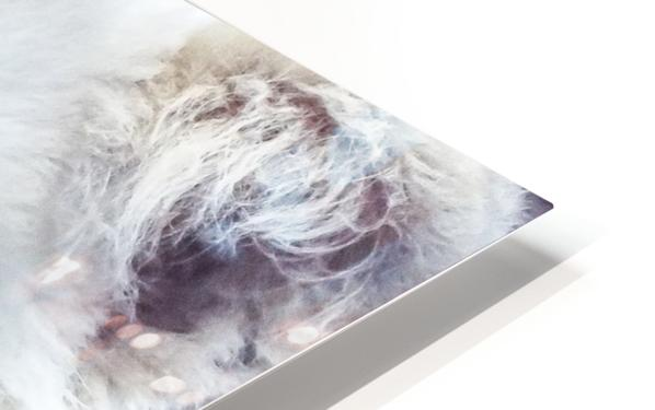 Juvenile White Lion  HD Sublimation Metal print