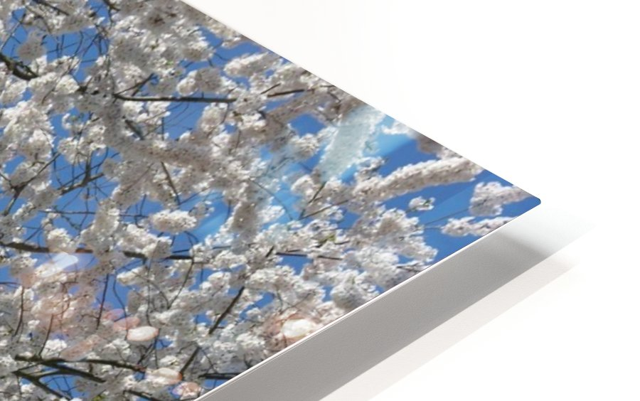 White Spring Blossoms Photograph HD Sublimation Metal print