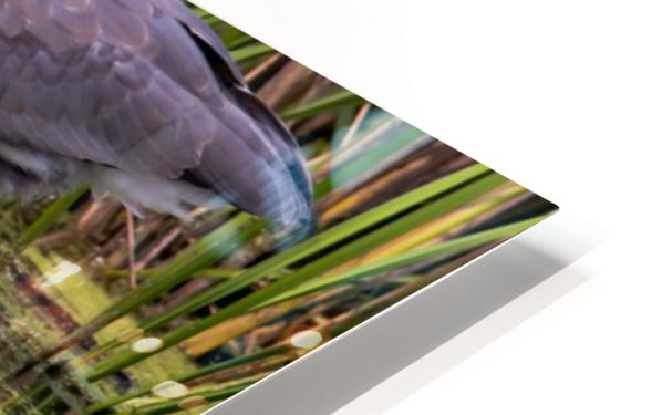 Great Blue Heron taking a Sip HD Sublimation Metal print