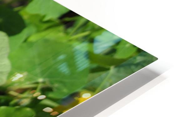 Nodding Nasturtiums HD Sublimation Metal print