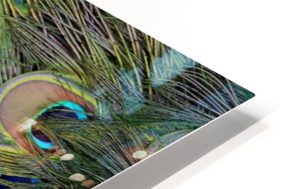 peacock tail feathers close up HD Sublimation Metal print