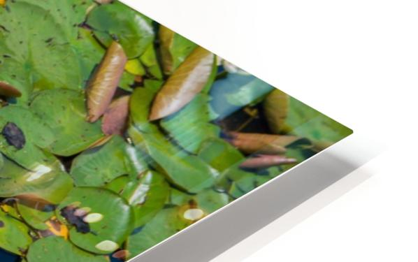 lily pads  HD Sublimation Metal print