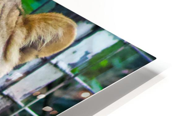 Lioness HD Sublimation Metal print