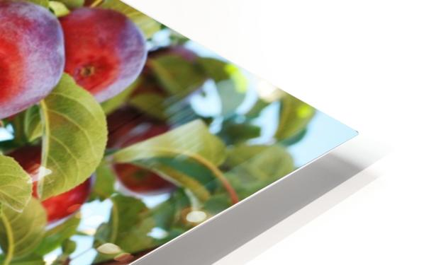 Apples Orchard- Harvest HD Sublimation Metal print