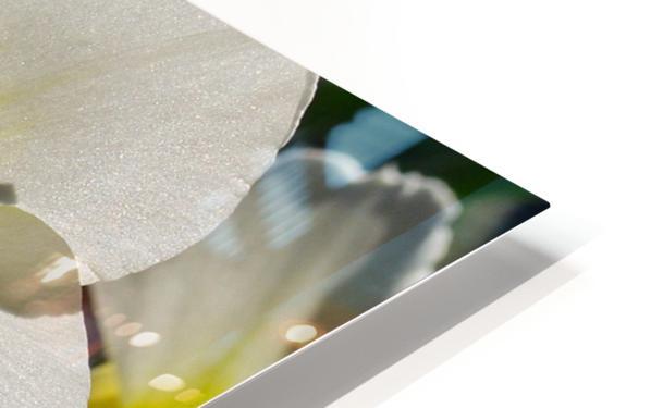 White Daffodil HD Sublimation Metal print