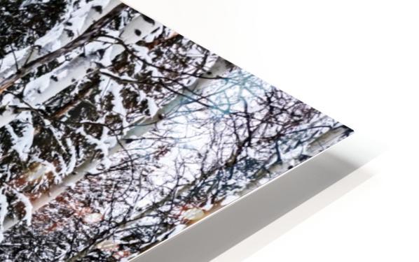 Aspens Snow Blanket Banff National Park HD Sublimation Metal print
