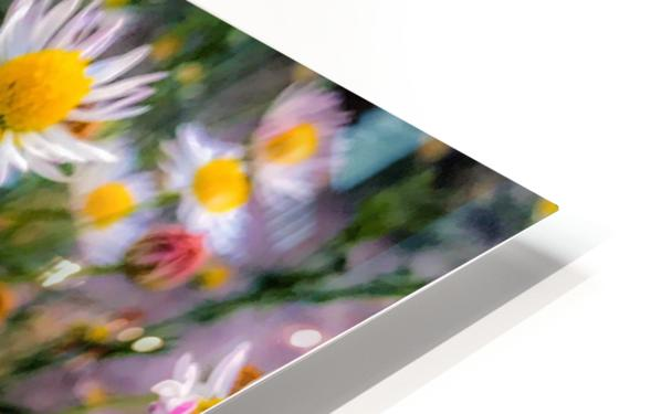 Daisies in Brackettville TX  HD Sublimation Metal print