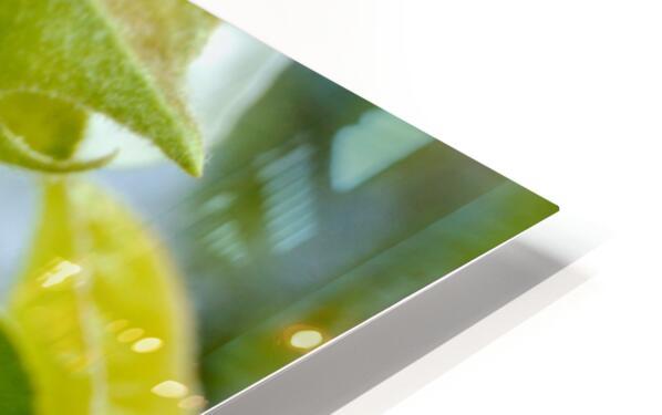 Pear Blossom - No. 1 HD Sublimation Metal print