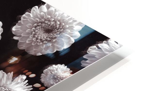 Dahlia Flowers, Full Frame HD Sublimation Metal print