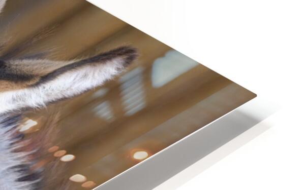 Donkey with Santa hat HD Sublimation Metal print