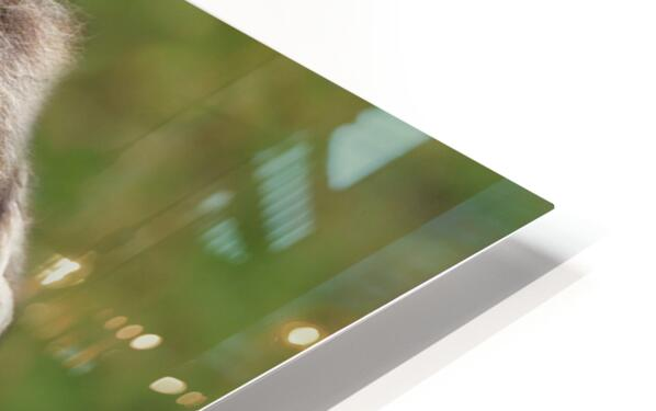 Muskox HD Sublimation Metal print