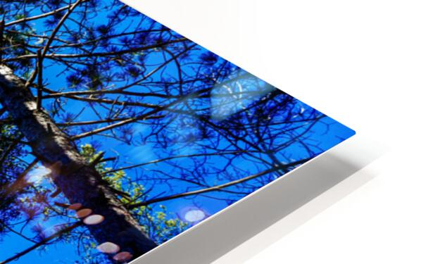 Towering Trees Bright Blue Sky HD Sublimation Metal print