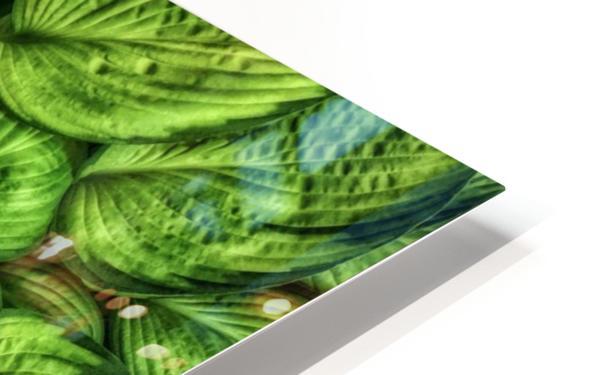 Hosta Glow HD Sublimation Metal print