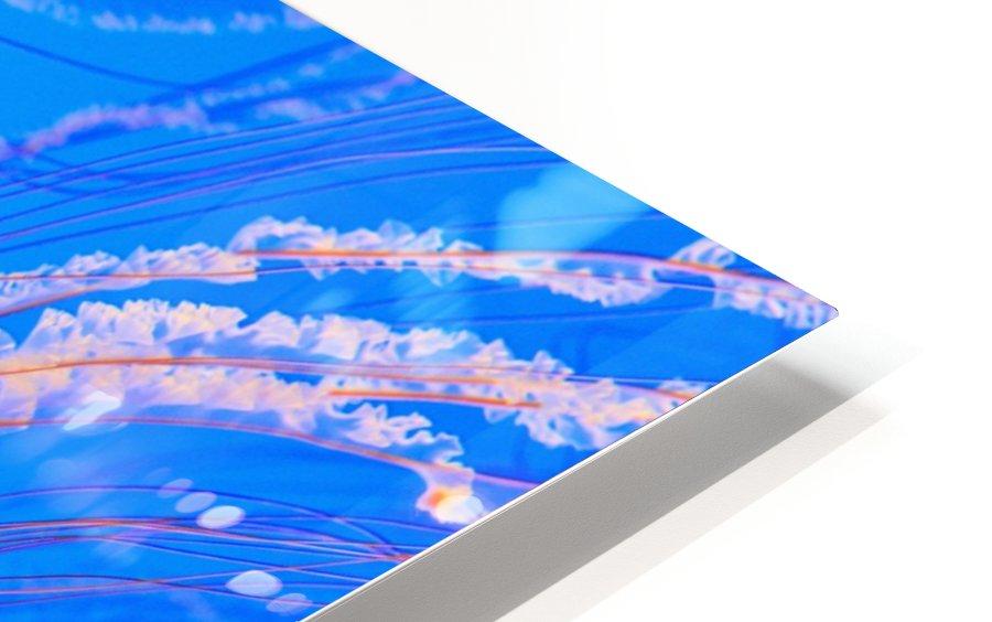Sea Nettles (Chrysaora Fuscescens) In Monterey Bay Aquarium Display; Monterey, California, United States of America HD Sublimation Metal print
