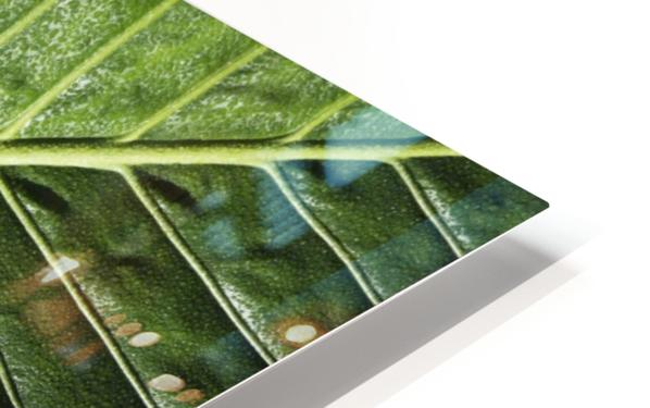 Close up of vein patterns in leaves;Gold coast queensland australia HD Sublimation Metal print