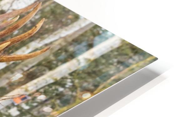 Bull moose (alces alces), rutting season; Alaska, United States of America HD Sublimation Metal print