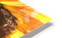 Bumblebee on Sunflower HD Metal print