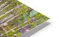 Aspens In Banff National Park HD Metal print