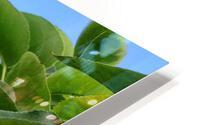 Asian Pears HD Metal print