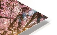 Cherry Blossom in a Park HD Metal print