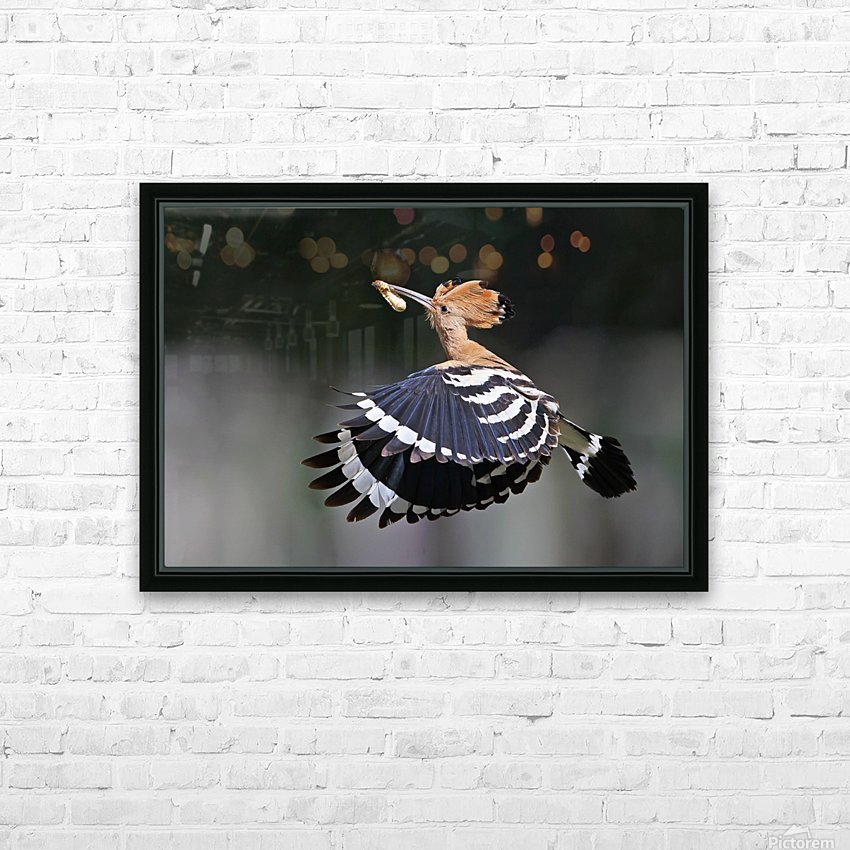 Hoopoe,Feeding.. HD Sublimation Metal print with Decorating Float Frame (BOX)