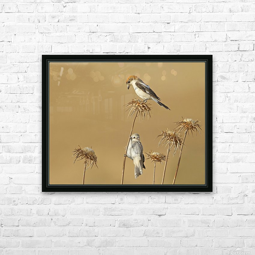 Woodchat Shrike HD Sublimation Metal print with Decorating Float Frame (BOX)